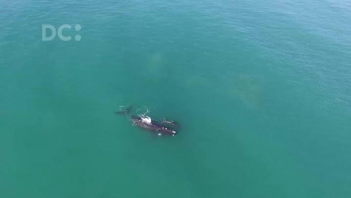 Baleias aparecem na Praia do Rosa, em Imbituba