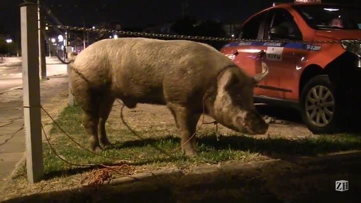O porco Bartolomeu Júnior fugiu do chiqueiro e passeou pelas ruas de Porto Alegre