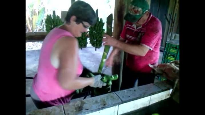 Vejo como funciona o processo de produção de banana orgânica em Jaraguá do Sul