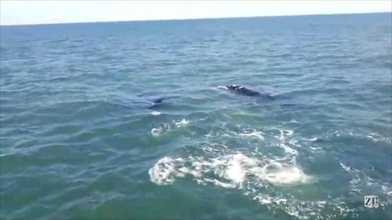 Baleias são registradas no litoral gaúcho