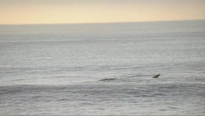 Baleia-franca e filhote dão show na praia do Morro das Pedras, em Florianópolis