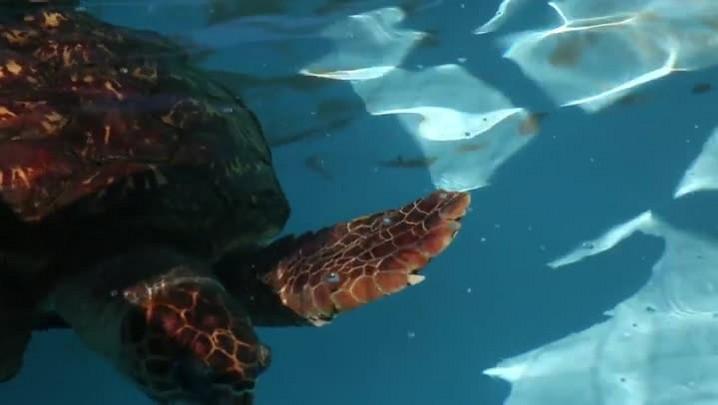 Projeto Tamar solta tartaruga-verde na Barra da Lagoa, em Florianópolis