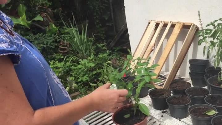 Aprenda a fazer uma mudinha de manjericão