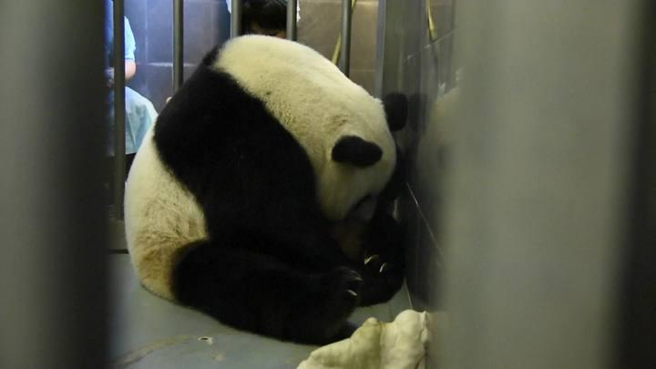 Mamãe panda tem gêmeos na China