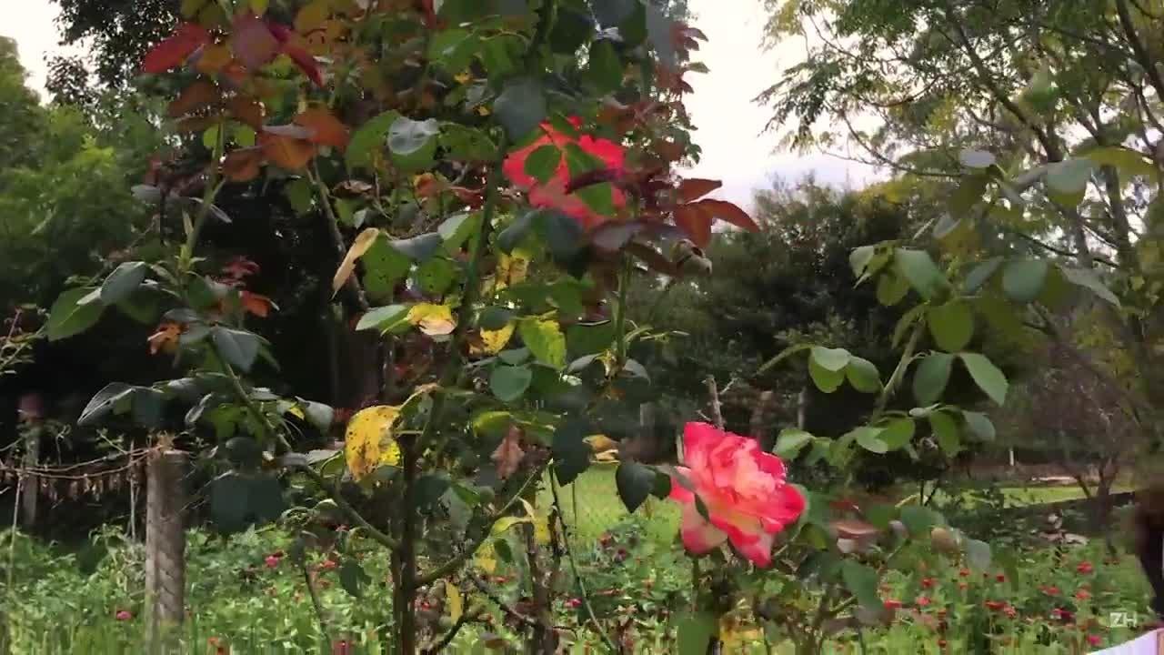 Muda de rosas