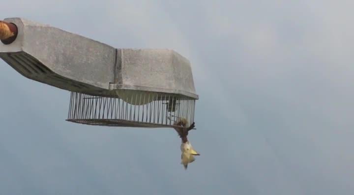 Do leitor: pássaro tenta salvar outro preso em uma luminária