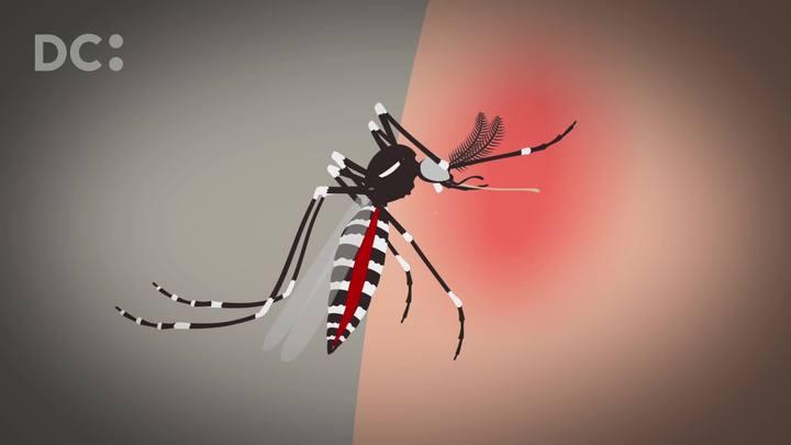 Entenda como é o ciclo de vida do mosquito Aedes aegypti
