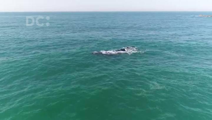 Baleias aparecem em Imbituba, SC