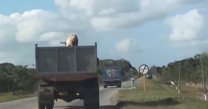 Porco pula de caminhão em movimento