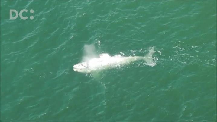 Baleias albinas são avistadas em sobrevoo pela praia de Itapirubá